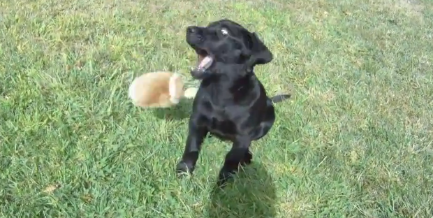 its_a_lab_thing_donner_black_labrador_football_fetch