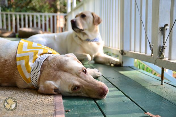 3 Shades of Dog It's a Lab Thing Bandana Labrador-73