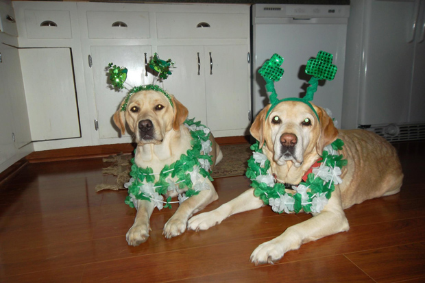 Its-a-Lab-Thing-Labrador-Irish-St-Patricks-day-001