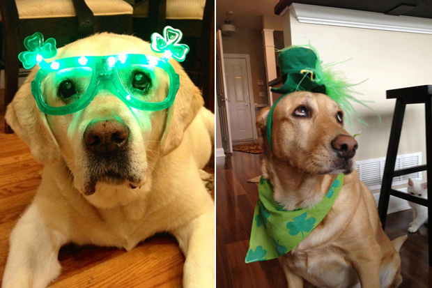 Its-a-Lab-Thing-Labrador-Irish-St-Patricks-day-002