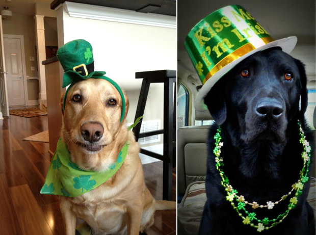 Its-a-Lab-Thing-Labrador-Irish-St-Patricks-day-007
