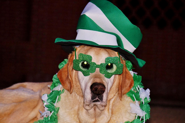 Its-a-Lab-Thing-Labrador-Irish-St-Patricks-day-008