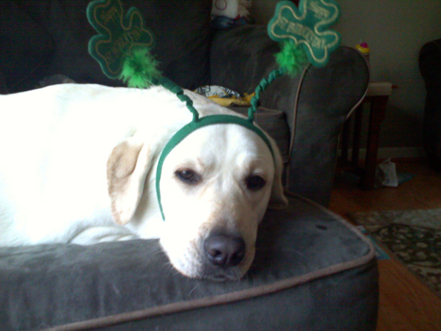 Its-a-Lab-Thing-Labrador-Irish-St-Patricks-day-014