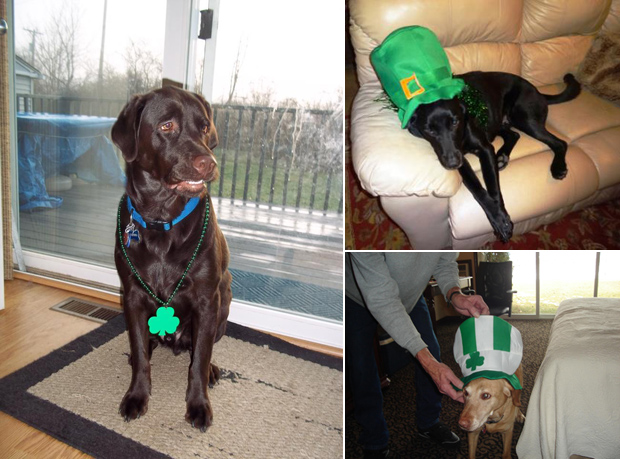 Its-a-Lab-Thing-Labrador-Irish-St-Patricks-day-016