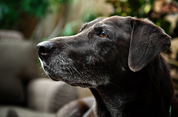 Its-a-Lab-Thing-Labrador-MelHammonds-LifeandDogs-004