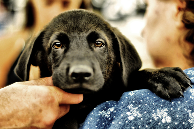 Its-a-Lab-Thing-Labrador-TinaQuatroni-Pawsafe-rescue-001