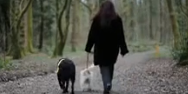 It's_a_Lab_Thing_Blind_Labrador_Eddie_with_Guide_Dog_Milo_Video