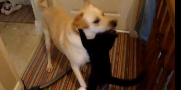[VIDEO] Yellow Labrador and Cat have a Playful Bout