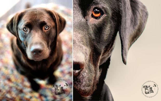 Its-a-Lab-Thing-Labrador-JasonCorbett-002