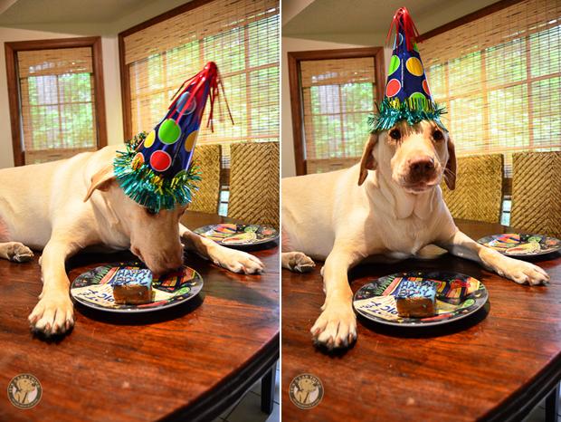 Labrador Eating Cake