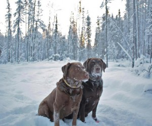 A Picturesque Look at Labradors with Mamie Spechter