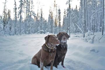 Its-a-Lab-Thing-Labrador-MamieSplechter-Showcase-001
