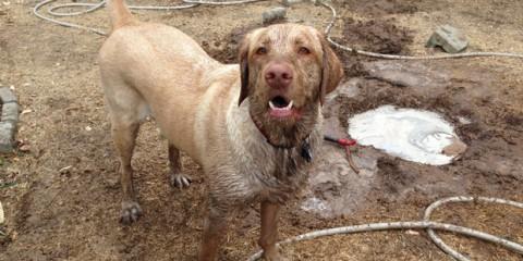 Its-a-Lab-Thing-Labrador-Muddy-Play-001