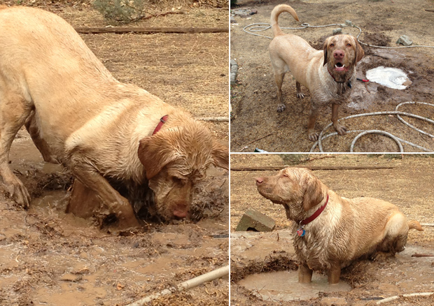 Its-a-Lab-Thing-Labrador-Muddy-Play-002