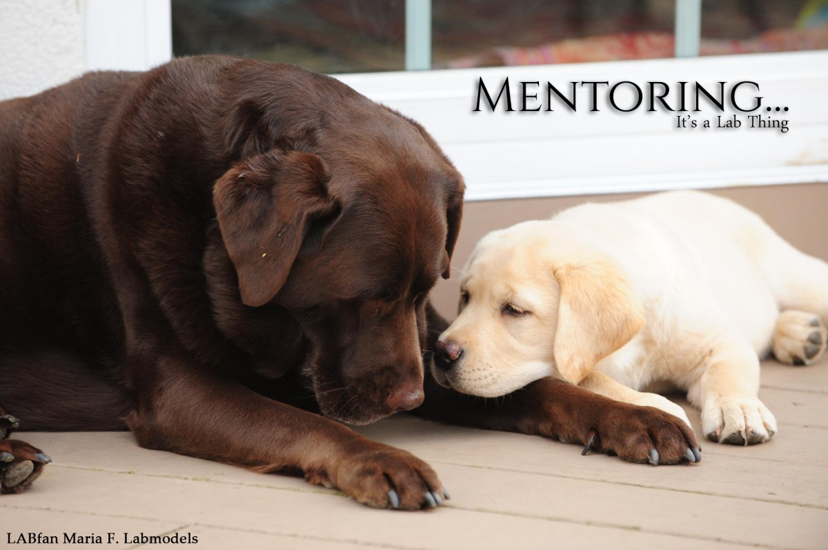 It's a Lab Thing yellow Chocolate Labradors Mentoring