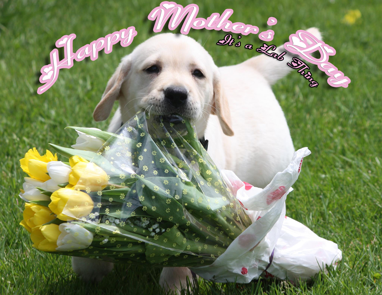 its a lab thing Marriage Puppy labrador Mothers day