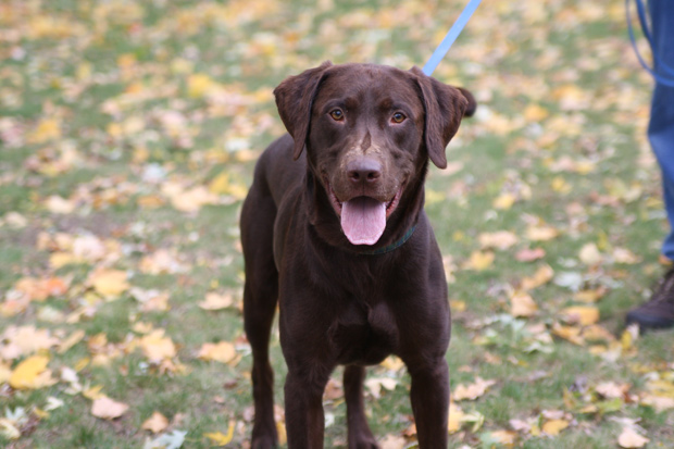 Its-a-Lab-Thing-Labrador-AnnaBonick-MidwestLabradorRetrieverRescue-001
