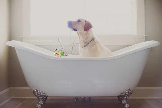 Its-a-Lab-Thing-Labrador-Gwen-Langmack-Tucker-007