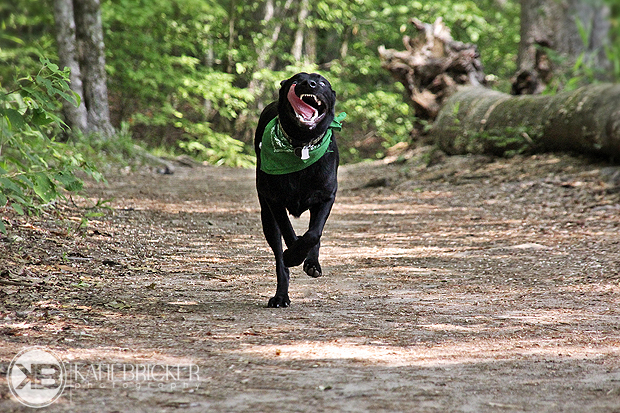 Its-a-Lab-Thing-Labrador-KatieBricker-Dubs-003