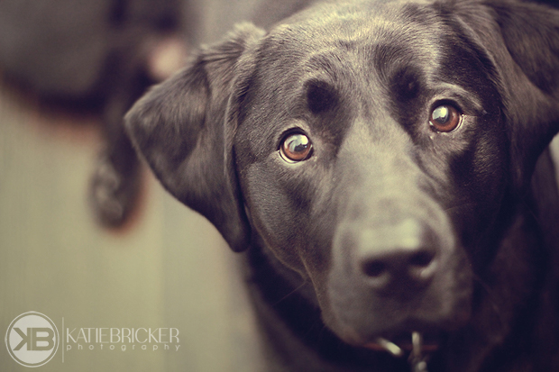 Its-a-Lab-Thing-Labrador-KatieBricker-Dubs-009