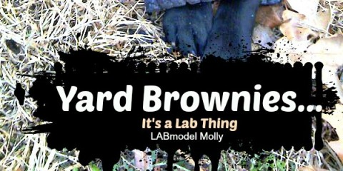 It's a Lab Thing Yard Brownies Labrador eating poop