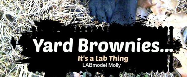 It's a Lab Thing Yard Brownies Labrador eating poop