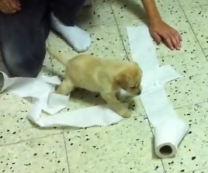 [LABtv] Labrador Puppy & His Roll of Toilet Paper