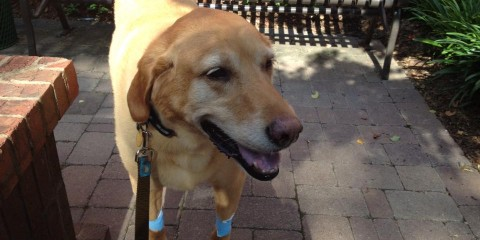 Its-a-Lab-Thing-Labrador-Cancer-Mason-chemo therapy 1