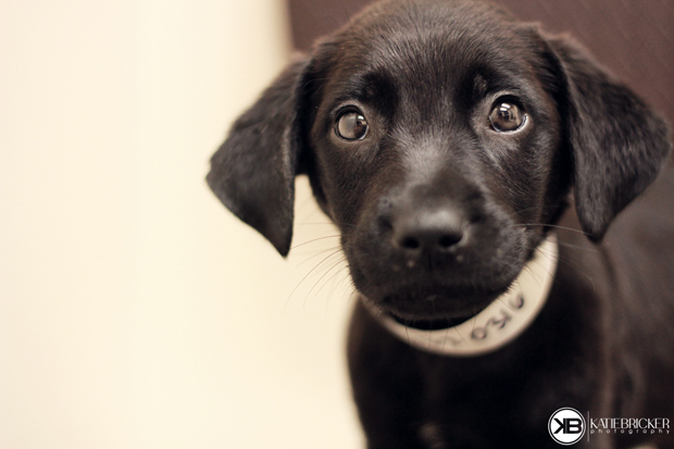 Its-a-Lab-Thing-Labrador-Puppies-Katie-Bricker-003