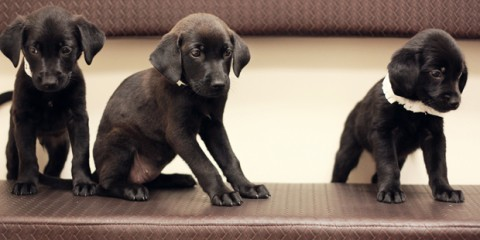 Its-a-Lab-Thing-Labrador-Puppies-Katie-Bricker-005