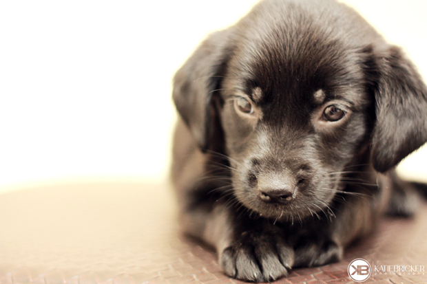 Its-a-Lab-Thing-Labrador-Puppies-Katie-Bricker-006