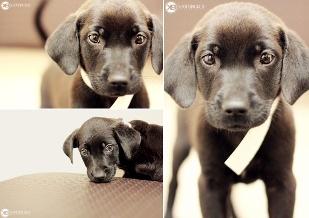 Its-a-Lab-Thing-Labrador-Puppies-Katie-Bricker-007