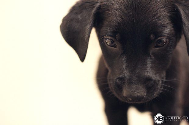 Its-a-Lab-Thing-Labrador-Puppies-Katie-Bricker-008