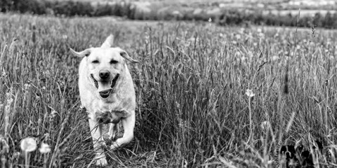 Its-a-Lab-Thing-Labrador-Yellow-Mindenwood-photography-007
