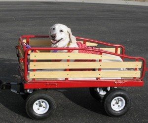 Red Wagons & Labradors: Keeping Your Lab Apart of the Fun!