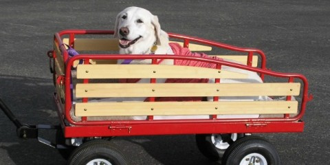 It's a Lab Thing Red Wagon for Labrador