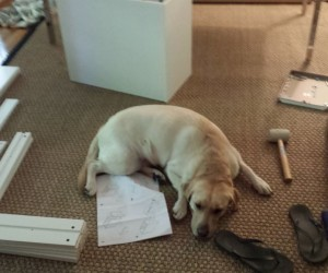 [LABtv] Brody, the Big Goofy Labrador Tearing up  Ikea Boxes