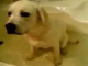 It's_a_Lab_Thing_Yellow_Labrador_in_The_Bath