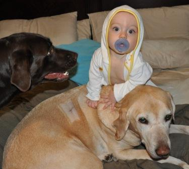 its a lab thing-labrador baby model