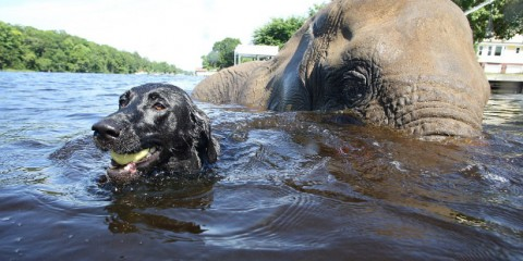 Black Labrador and Elephant It's a Lab Thing 4