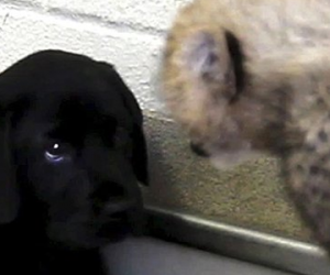 [LABtv Video] A Labrador Puppy's New Playmates, Dallas Zoo Cheetah Cubs!
