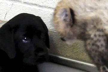 It's_a_Lab_Thing_Cheetah_Cubs_and_Labrador_puppy_