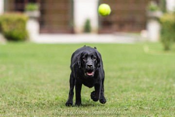 Labrador Dog Photography Classes It's a Lab Thing FotoCoach Stefano Gambetta-1