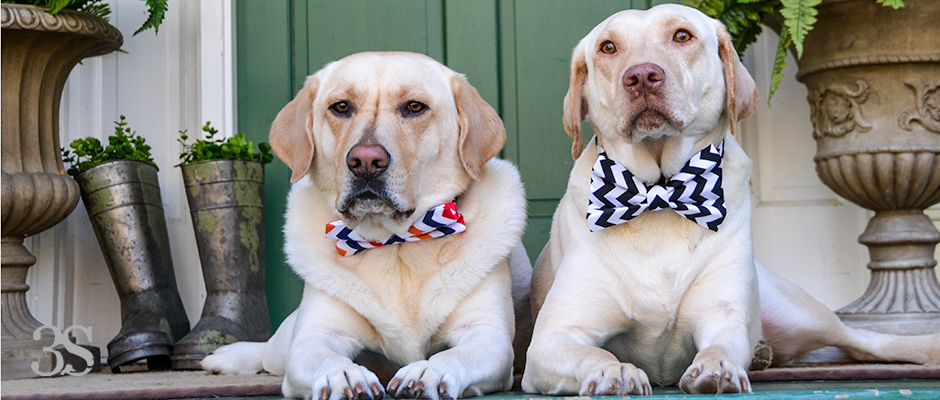 3-Shades-of-Dog-It's-a-Lab-Thing-Bow-Tie-Labrador-18-2-Edit
