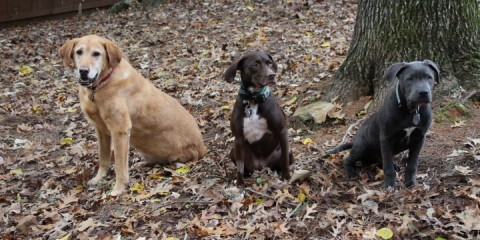 Cancer in Labradors It's a Lab Thing Mason's Story (3)