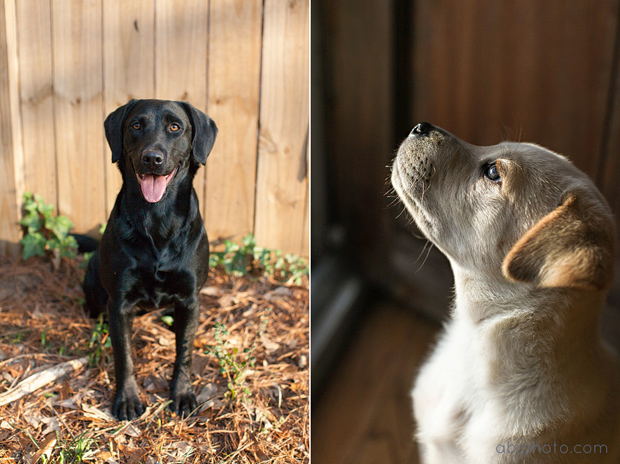 Labrador Rescues Atlanta Lab Rescue Alana Joyner It's a Lab Thing (18)