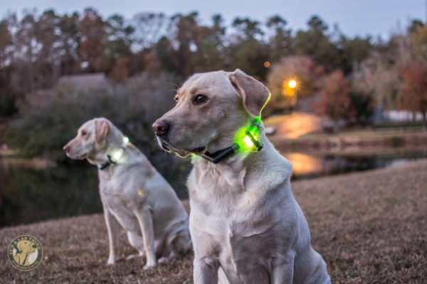 Glowdoggie LED waterproof Collars for Labradors and Dogs-18