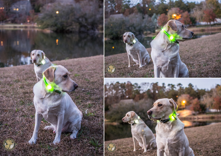 Glowdoggie LED waterproof Collars for Labradors and Dogs (3)