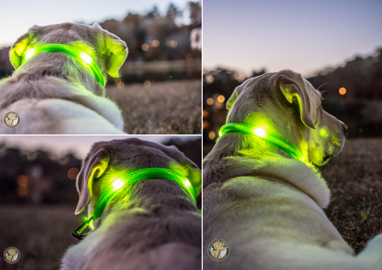 Glowdoggie LED waterproof Collars for Labradors and Dogs (4)