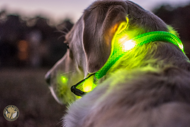 Glowdoggie LED waterproof Collars for Labradors and Dogs-50
